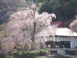 100413しだれ桜.jpg