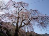 100413しだれ桜2.jpg