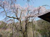 100413しだれ桜3.jpg