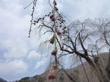 しだれ桜0411-2.jpg