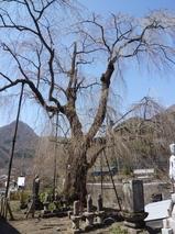 4月12日しだれ桜1.jpg