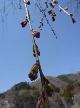 4月12日しだれ桜2.jpg