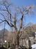 4月14日中正寺しだれ桜1.jpg