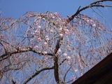 4月14日中正寺しだれ桜3.jpg