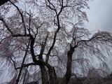 4月18日中正寺しだれ桜1.jpg