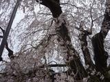 4月18日中正寺しだれ桜2.jpg