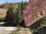乃久里神社しだれ桜街道