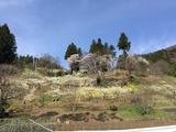 勝山神社とプラム畑