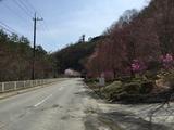 楢原トンネル付近のしだれ桜とソメイヨシノ