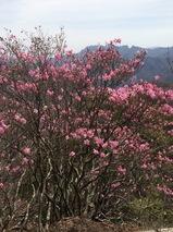 笠丸山ツツジ写真4月19日撮影