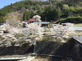 野栗河川敷のソメイヨシノと宝蔵寺のしだれ桜