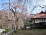 平成27年4月6日(月)の中正寺のしだれ桜
