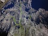中正寺のしだれ桜 ライトアップ