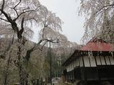 中正寺のしだれ桜