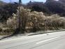 国道299号沿いの梅
