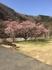 ヴィラせせらぎの桜