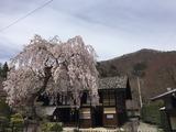 旧黒澤家住宅の桜