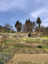 勝山地区_プラム畑と勝山神社